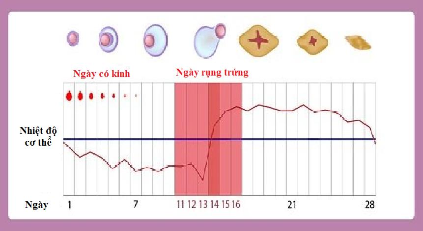 Tính ngày rụng trứng dựa theo nhiệt độ cơ thể